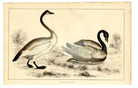 1858 Antique Print BEWICK'S and BLACK NECKED SWAN Cygnus bewickii