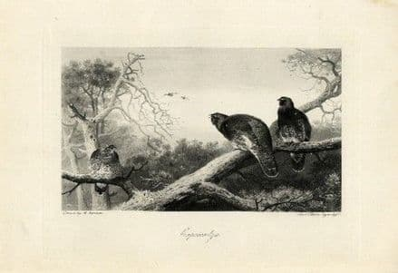 1897 Print CAPERCAILLIE Archibald Thorburn Antique Gravure BIRD GROUSE FAMILY