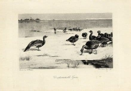 1897 Print WILD GEESE Archibald Thorburn ANTIQUE Victorian Photogravure